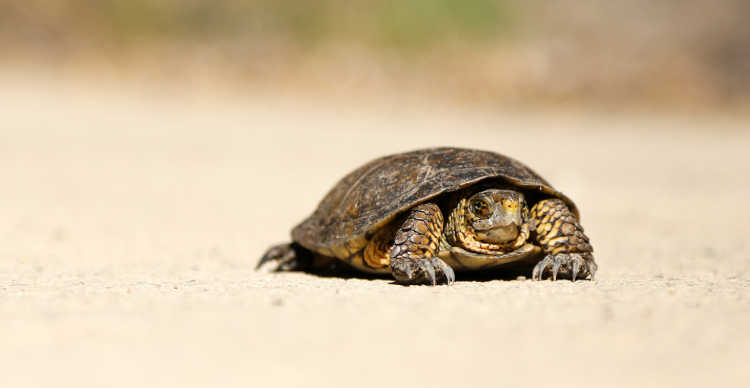 turtle crawling along dry ground