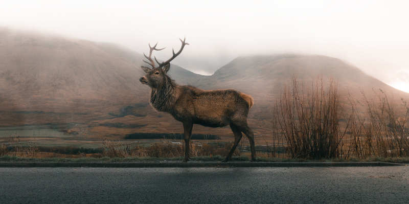 an elk by the road
